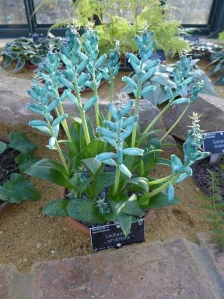 Lachenalia viridiflora (Copier)
