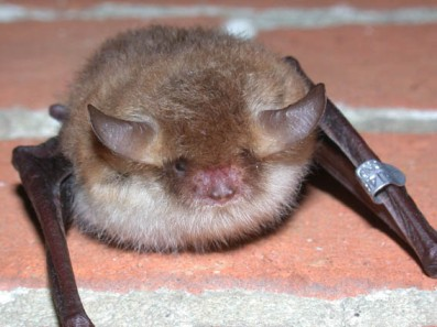 Natterer's Bat © University of Bristol
