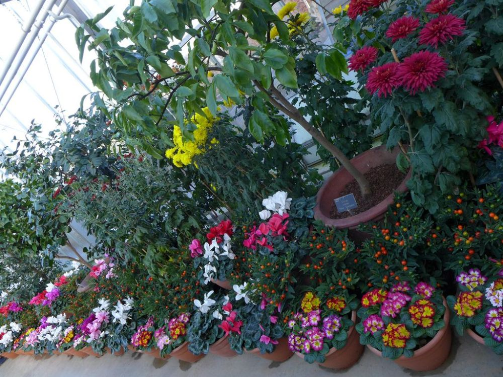 Primroses, Cyclamens, Chrysanthemums and Citrus trees