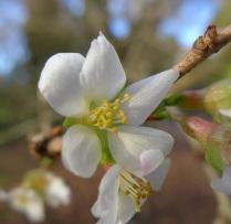 Prunus praecox