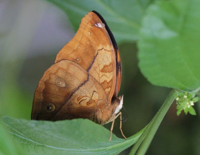 indian leafwing