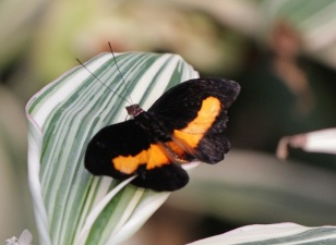 orange banded shoemaker