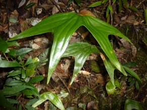 Cheiropleuria bicuspis
