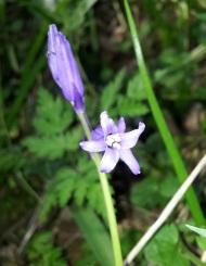 Hyacinthoides non-scripta (Bluebell)