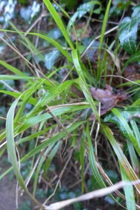 Brachypodium sylvaticum