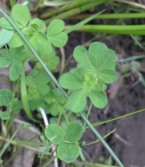 Lotus corniculatus & Trifolium