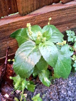 dog's mercury, herb robert & chickweed