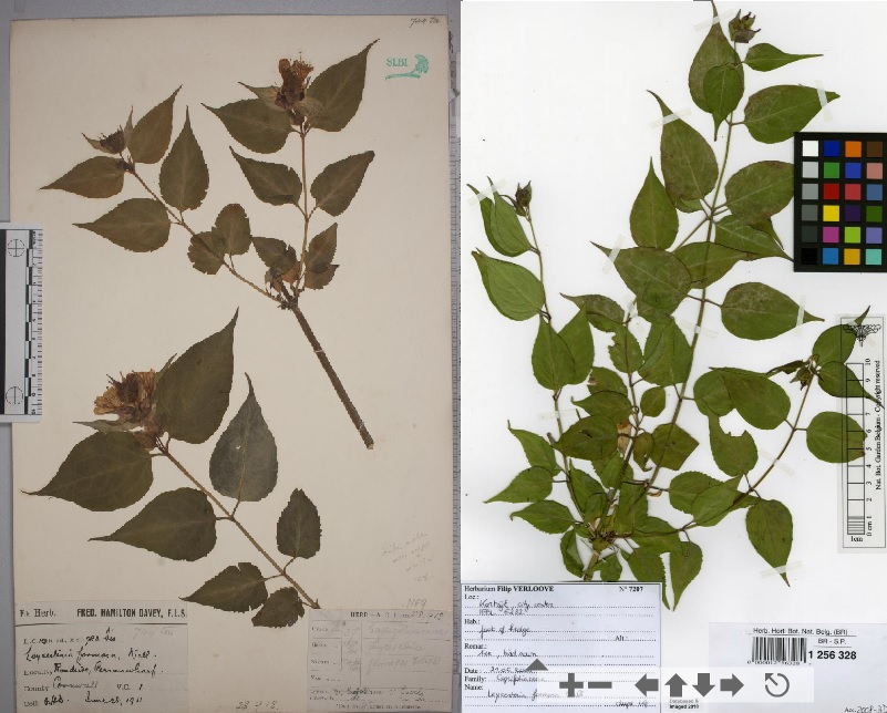 Glued (left) and strips (right)  specimens of Leycesteria formosa
