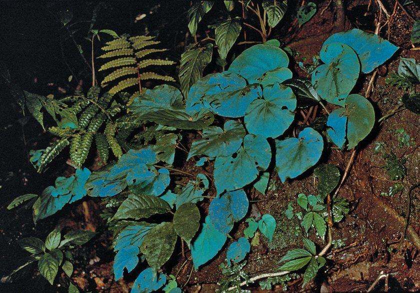 begoniapavoninablueleafiridescencecameronhighlandsmalaysia