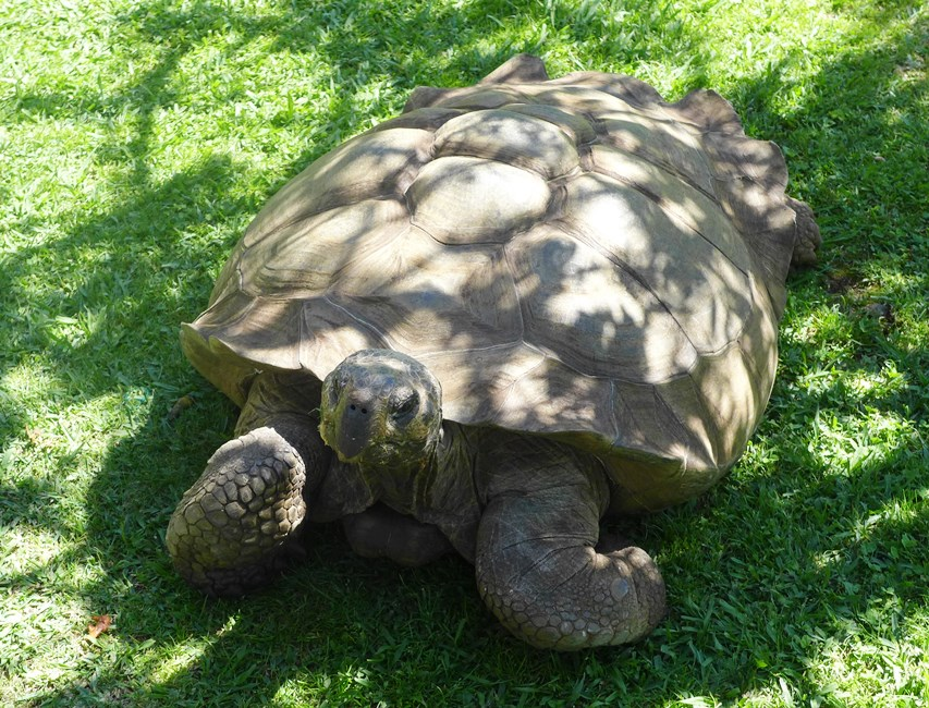 Colombo, a 47-year-old Galapagos tortoise