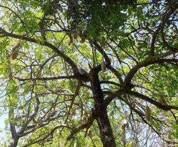 Kigelia pinnata - Sausage tree