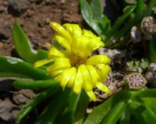 Glottiphyllum fragrans