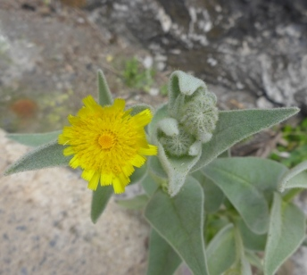 Andryala glandulosa ssp. varia