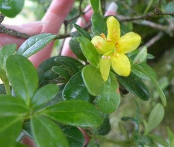 Rhododendron emarginatum