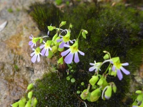 Utricularia  (2)