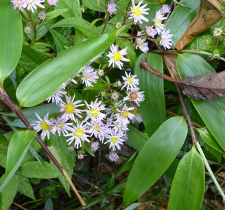 Aster ageratoides (2)