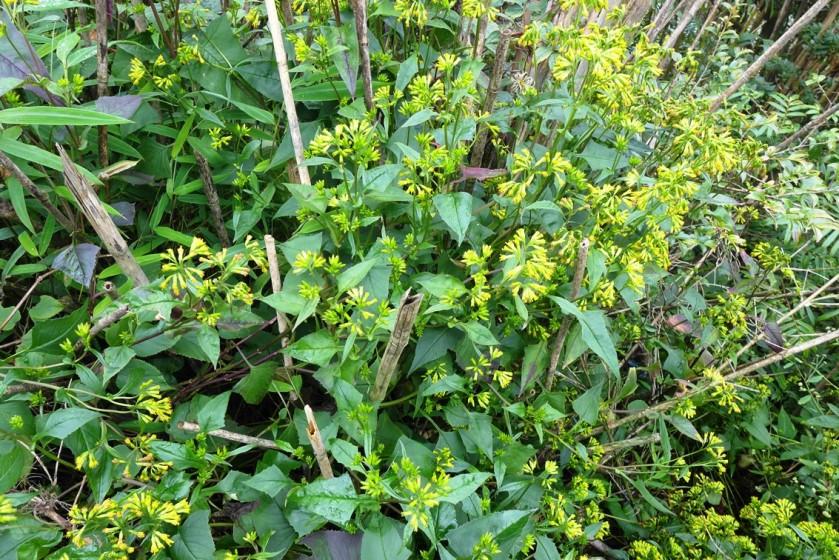 Gynura lycopersicifolia
