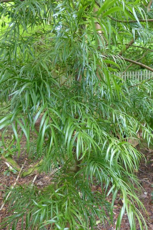 Afrocarpus gracilior