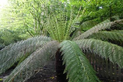 Dicksonia antarctica (2)