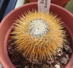 Mammillaria flavicentra
