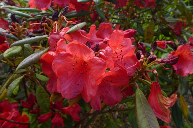 Rhododendron (2)