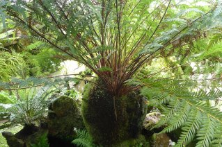 Todea barbara - the 1000 year old fern