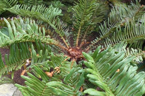 Blechnum palmiforme