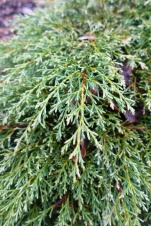 Cupressus macrocarpa 'Greenstead Magnificent' (2)