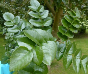 Gevuina avellana (2)