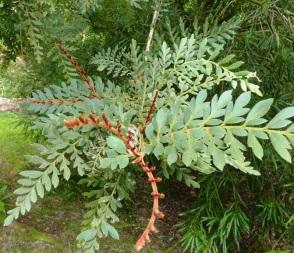 Lomatia ferruginea (2)