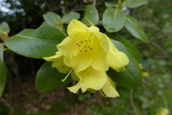 Rhododendron cinnabarinum ssp cinnabarinum.