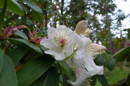 Rhododendron decorum ssp decorum