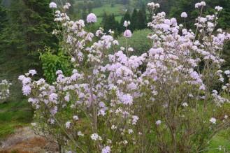 Rhododendron subgenus Pentanthera