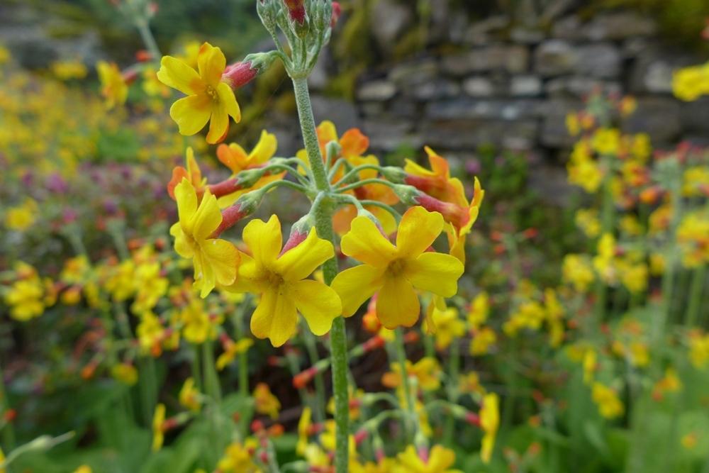 Primula chungensis - Kingdon-Ward