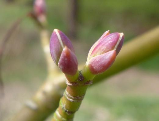 Acer davidii subsp. davidii