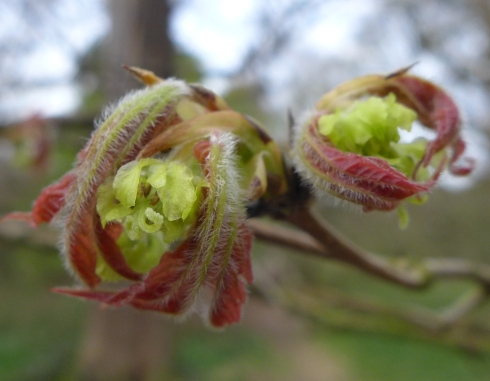 Acer maximowiczianum