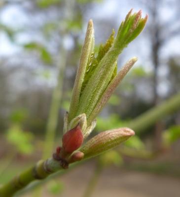 Acer tegmentosum (2)