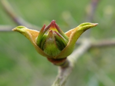 Cornus kousa var. chinensis 'Wisley Queen'