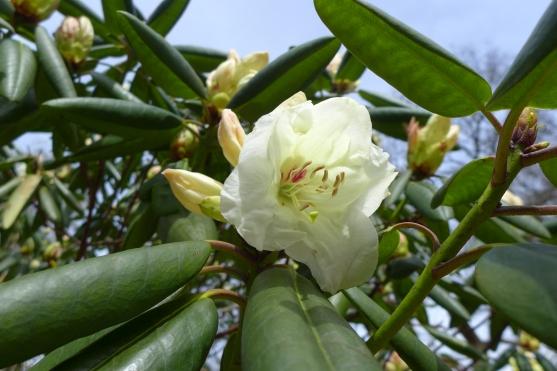 Rhododendron hyperythrum x 'Hawkcrest'
