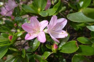 Rhododendron 'Kimigayo' (EA)