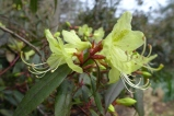 Rhododendron lutescens (2)