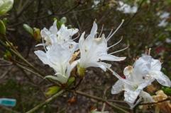 Rhododendron 'Shin-sekai' (Kurume)