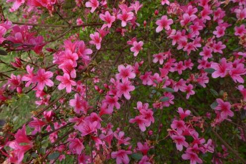 Rhododendron 'Silvester' (Kurume) (EA) (2)