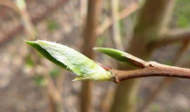 Stewartia pseudocamellia (2)