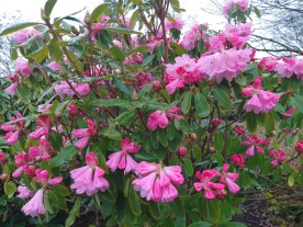 Rhododendron oreodoxa var. fargesii
