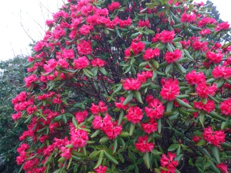 Rhododendron succothii