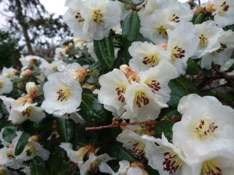 Rhododendron leucaspis
