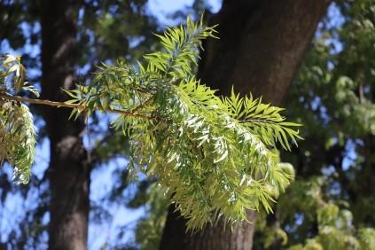 IMG_3821 Grevillea robusta (Copy)