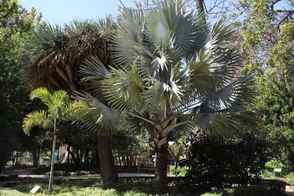 IMG_3846 Bismarckia nobilis (Copy)