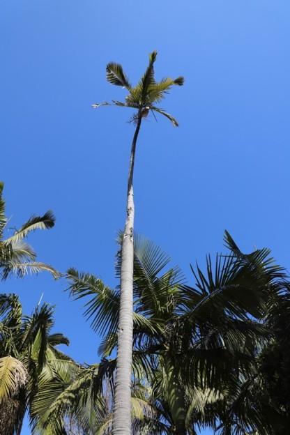 IMG_3849 Archontophoenix alexandrae palm (Copy)